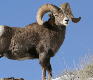 Bighorn Sheep Hunts