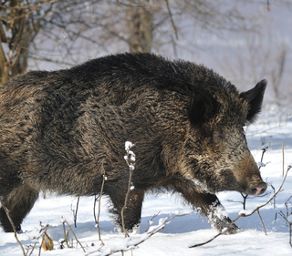 wild boar hunting outfitters and boar hunting guides