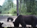 Black Bear Hunts North Carolina.