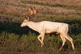 Exotic Deer Hunting Oklahoma, Fallow Deer, Axis Deer, Sika Deer.