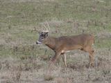 Ranch Buck Moving