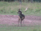 Heavy Horn Outfitters Fallow Deer Hunts
