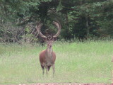 Heavy Horn Outfitters Red Stag Hunts
