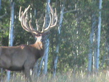 Heavy Horn Outfitters, Elk August 2012