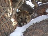 Wyoming Cougar Hunting