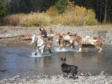 mules in the river