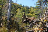moose on the hoof