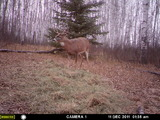 Whitetail Deer hunting in Saskatchewan