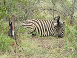 Baobab Game Ranch , Zebra