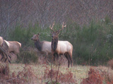 Hunting in Oregon for Roosevelt Elk