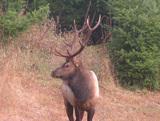 Roosevelt Elk Hunting in Oregon