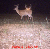 Bucks On Trail Cam 2012