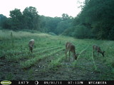 Doe enjoying our food plot