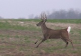 """Gnarly Buck"" 2011"