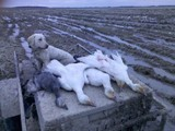 Snow Goose Hunts!