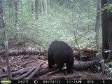 Black bear hunting in Maine