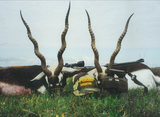 Blackbuck Antelope hunting