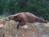 Black Bear hunting in Idaho