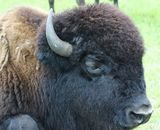 One of our Big Bison