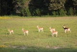 Quality Herd of Axis Deer