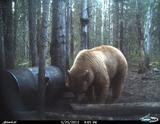 Big Color Phased Bear