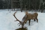 Red Stag Hunting Maine.