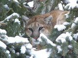 Mountain Lion Hunting Wyoming.