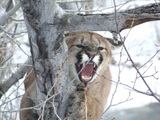 Big Mountain Lion Hunting Wyoming