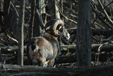Mouflon Ram Taking In The Winter Sun