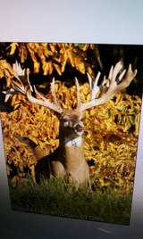 Monster Worldclass Whitetail Buck.