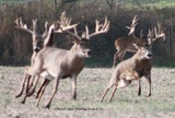 Giant Whitetails chasing a doe