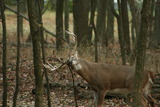 Big buck rubbing