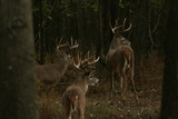 Trophy Bucks In Southern Illinois.