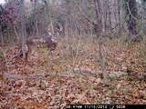 Southern Illinois Outfitters, Rutting buck