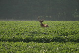 Summer buck eating green soy beans.