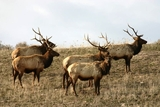 Colorado Elk Hunts.