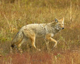 Kansas Predator Hunts for Coyote