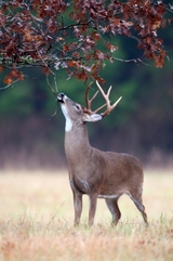 Trohy Deer Hunts in Kentucky North Fork Outfitters.