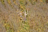 Big Bucks in Tall Grass at Premier Whitetail Deer Retreat in Ohio.