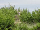 Whitetail Deer Hunts at Flying 5 B Ranch in Texas.