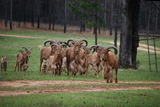 Aoudad hunting in Tennessee.