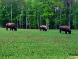 Bison hunting in Tennessee.