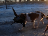 Brittany Pheasant Hunting Dogs at Maple River Pheasant Hunts.