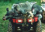 Wild Boar Hunting Alabama.