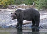 Grizzly Bear Hunting British Columbia.