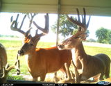 Mature Bucks at Three Generation farm.