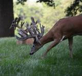 Deer Hunts Ohio, Trophy whitetails in West Liberty Ohio.