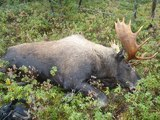 Moose Hunting Newfoundland Canada with Island Safaris