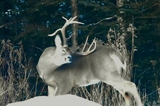 Cedar Ridge Outfitters, Whitetail Deer