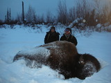 Boss Outfitting, Huge wild wood bison